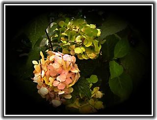 Toronto Ontario - Canada - Edwards Botanical Garden - Hydrangea Flower
