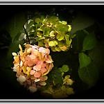 Toronto Ontario - Canada - Edwards Botanical Garden - Hydrangea Flower thumbnail
