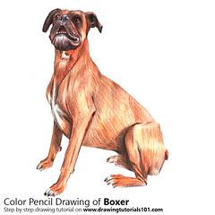 Boxer Dog (drawingtutorials101.com) Tags: boxer dog dogs animal animals farm sketching pencil sketches draw drawing drawings color colors how sketch speed