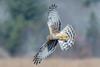 Northern Harrier Hunting (Vic Zigmont) Tags: northernharrier raptor birdinflight