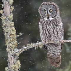 Cold weather fan (jrlarson67) Tags: great gray grey owl strix nebulosa chouette lapone saxzim minnesota mn raptor