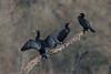 083.jpg (Kico Lopez) Tags: cormorángrande miño lugo aves galicia birds phalacrocoraxcarbo spain rio