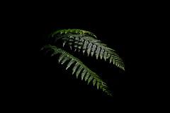 Low-key Fern (Eddy Summers) Tags: fern plant lowkey green leaves nature pentaxk1 pentaxaustralia dfa100mm28 bluemountains nsw australia
