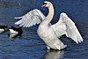 All in a flap.... (stellagrimsdale) Tags: swan wings feathers water hollowpond 7dwf