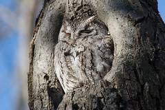 Eastern Screech Owl (Margo Dolan) Tags: