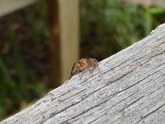 Banister Dance Step 1 (tessab101) Tags: spider spiders arachnids salticidae jumping prostheclina