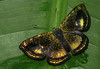 Caria sponsa (hippobosca) Tags: butterfly cariasponsa peru riodinidae metalmark macro insect lepidoptera