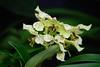 AOS 1.2018-11 (Jordan Cataldo) Tags: aos american orchid society st paul mn winter carnival