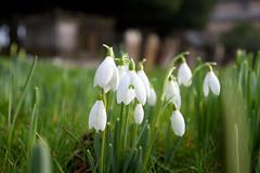An English Churchyard (Adam Swaine) Tags: snowdrops churchyard flora flowers brenchley england english britain british naturelovers nature canon counties countryside uk ukcounties beautiful winter macro kent kentweald county naturesfinest