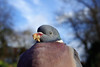 get that camera out of my face (Paul Wrights Reserved) Tags: wideangle eating pigeon closeup bokeh foreground background eye close bird bokehlicious chest feather feathers sky