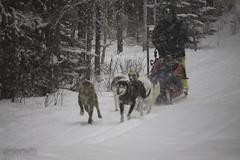 (zawaski) Tags: alberta dogsledding beauty foundryranch naturallight noflash canmore rockymountains canada zawaski©2018 calgary love maddogenglishman ambientlight canonefs55250mmf456isstm