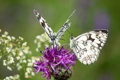 Schachbrettfalter auf Distel (Marcus Hellwig) Tags: schmetterling schmetterlinge mariposa papillon pflanze pflanzen distel flower fleur farfalla falter schachbrettfalter melanargiagalathea
