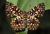 Calydna charila (hippobosca) Tags: butterfly lepidoptera insect peru macro riodinidae metalmark calydnacharila