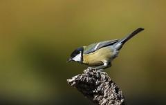 Preparado para despegar (Aristides Díaz) Tags: pájaroposado bird carbonerocomún vegadegranada bokeh sigmaaf400f56apotelemacro insectívoro parusmajor