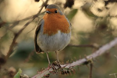 Another of the Petersfield Robin photographed in December (Art-G) Tags: robin petersfield hampshire uk bokeh canon eos7dmkii 100400lisusm winter december