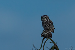 The Little Owl / Athene Noctua (eric-d at gmx.net) Tags: littleowl steinkauz athenenoctua kauz strigidae eule eric ericdgmxnet naturepicturede wildlife ngc