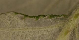 Pupae on a bramble
