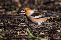 Hawfinch seed juggler (andy_harris62) Tags: hawfinch rarebird rare wildlife bird draycotewater warwickshire