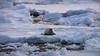 """Always be ready"" - Marguerite Bay, Antarctic Peninsula (alejandro.romangonzalez) Tags: antarctica antarcticpeninsula britishantarcticsurvey seal pup sea ice wildlife southernocean summer rothera outdoors margueritebay"
