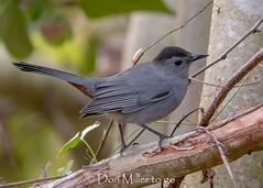 Cat Bird (DonMiller_ToGo) Tags: wildlife rookery nature birds outdoors birdwatching d810 venicerookery florida