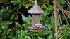 Female Bullfinch 2 (Luzon Jim) Tags: birds bird food feed watermark female wild wings garden outdoor avian finch green hedge camera