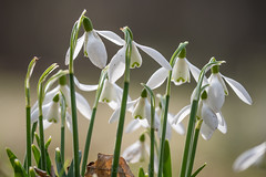 Snowdrops (shaftina©tion) Tags: arthropod bee flower galanthus snowdrop white early flowers insect insectinsekt insekten pollinate pollinating pollination spring