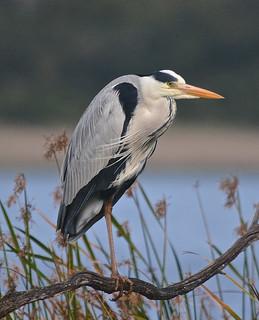 Grey Heron Wilderness DSC_0848