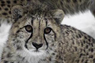 Toronto Zoo - Cheetah cub
