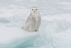 Snowy Owl floating on the ice on Lake Ontario (ChristinaAnne.M) Tags: snowyowl buboscandiacus owl harfangdesneiges raptor wildlife wildlifephotographer wildlifephotography nature naturephotography naturephotographer nikond7100 canada ontario lakeontario winter winter2018 animals outdoors owling arcticowl
