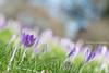 The Coming of Spring (littlekiss☆) Tags: crocus field spring flower ground grass nature bokeh vancouver vandusenbotanicalgarden littlekissphotography