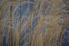 grass_&_rain-3_MaxHDR (old_hippy1948) Tags: grass rain
