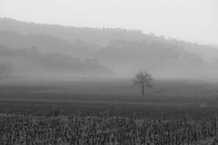 Misty vineyard in Provence (Arnø N°XX) Tags: vin vignoble coteaux varois brouillard bw monochrome provence