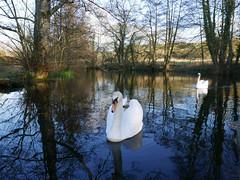 serene beauty (auroradawn61) Tags: dorset uk england winter february 2018 nature lumixlx100 wintersun chilly fontmellmagna collyersbrook naturereserve swans