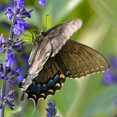 EasternBlackSwallowTail_SAF0253_DxO (sara97) Tags: easternblackswallowtail butterfly insect papiliopolyxenes obysaraannefinke saintlouis missouri towergrovepark copyright©2017saraannefinke