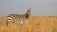 Nairobi-Nationalpark-0520 (ovg2012) Tags: kenia kenya nairobi nairobinationalpark