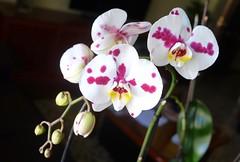 Orquídea Arlequín......46vp (valorphoto.1) Tags: selecciónvp orquídeas natural naturalezasmuertas stilllife flores photodgv