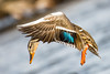 Dancing Duck (Explore 18-02-27) (fsong) Tags: dancing duck mallard