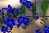 Shades of Blue (leendert3) Tags: leonmolenaar nature flowers limpopoprovince southafrica coth5 ngc npc