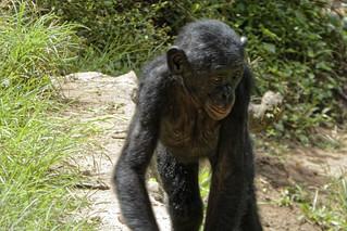 Bonobos in DR Congo