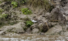 common sandpiper - River Axe Uphill-1831 (oldparson) Tags: beach canon somerset wsm axe birds coast hightide river uphill waders