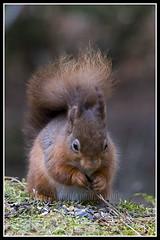 IMG_0020 Red Squirrel (Scotchjohnnie) Tags: redsquirrel sciurusvulgaris squirrel squirrelphotography rodent wildlife wildlifephotography wildanimal wildandfree nature naturephotography canon canoneos canon7dmkii canonef100400f4556lisiiusm scotchjohnnie