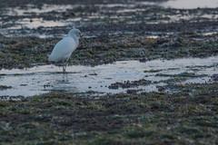 IMG_2862 (armadil) Tags: mavericks beach beaches californiabeaches bird birds egret snowyegret