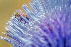 Mastering the Thistle (FotoGrazio) Tags: botany waynegrazio waynesgrazio wildflower animal bee bees botanical closeup composition determination flower flowers fotograzio honeybee insect lovely macro mothernature nature obstacles plant pollen pollination purple thistle wildlife