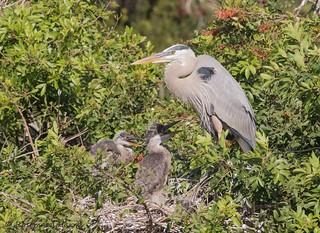 Great Blue Heron Nest -Explored.