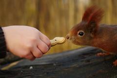 Ob das lecker ist? (lebastian) Tags: eichhörnchen squirrel dresden park animal natur tier panasonic dmcgx8 1240mm olympus pro