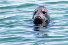 Earless (marcpeterphotography) Tags: earless waterdog dog seal seals zeehond zeehonden hond mammal mammals marcpeterphotography marcpeter marcpeterkooistra wildlife wildlifephotography netherlands nature naturephotography holland wadden waddeneiland northsea
