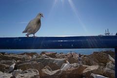 Puerto de Alicante (carpomares) Tags: paloma puerto