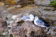 Bless 'em (rob of rochdale) Tags: seagulls gulls nesting cliffs northumberland avian birds