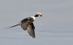 Long-tailed duck (Clangula hyemalis), male (vladimirmorozov) Tags: longtailedduck clangulahyemalis coth5 ngc