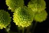 Lit from Below (MTD Photos) Tags: bloom blossom chrysanthemum flower green illumination macro mattdomonkos mums nature petals stack stackedimage